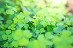 Beautiful Wood Sorrel. Background on natural blurred background royalty free stock images