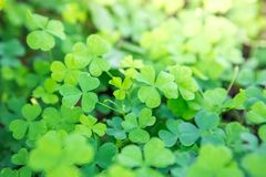 Beautiful Wood Sorrel. Background on natural blurred background stock photography