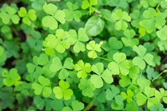 Beautiful Wood Sorrel stock image