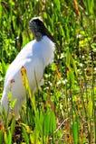 Beautiful wood stork Stock Images