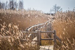 A beautiful wooden footpath through reeds on a lake Stock Photography