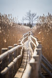 A beautiful wooden footpath through reeds on a lake Royalty Free Stock Images