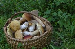 Beautiful wooden woven basket full of mushrooms Boletus edulis