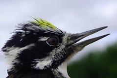 Beautiful woodpecker Stock Images