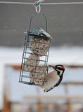 Beautiful woodpecker at suet feeder Stock Photos
