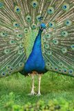 Beautiful wooing peacock from close-up. Brilliant natural patterns.  royalty free stock photos