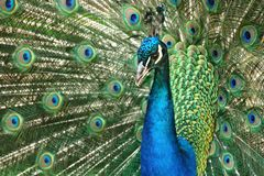Beautiful wooing peacock from close-up. Fantastic colors and patterns.  royalty free stock photography
