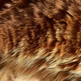 Beautiful wool is a healthy breed of Kurilian Bobtail. Shines in the sunlight. royalty free stock photos