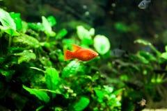 Xiphophorus maculatus. Beautiful Xiphophorus maculatus fish in aquarium royalty free stock images