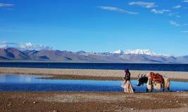 A beautiful yak stock images