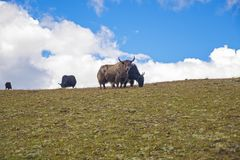 Beautiful Yaks in Tagong Grassland, Sichuan province, China. royalty free stock photography