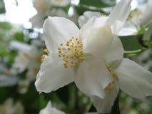 Beautiful yasmine tree in a white blossom stock photography