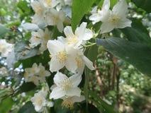 Beautiful yasmine tree in a white blossom stock photo