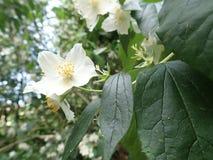 Beautiful yasmine tree in a white blossom stock photos
