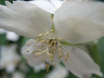 Beautiful yasmine tree in a white blossom royalty free stock photography