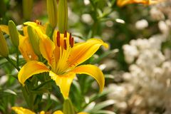 Beautiful yello lily and white flowers Stock Photos