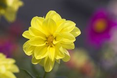 Beautiful Yellow!. A bright yellow flower opening up in the early morning Stock Images