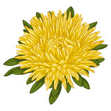 Beautiful yellow aster isolated on white background. Royalty Free Stock Photo