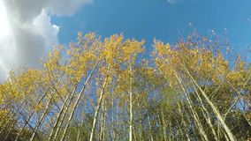 Beautiful yellow autumn aspen trees and clouds motion, time lapse. Beautiful yellow autumn aspen trees and clouds motion on blue sky background, time lapse stock footage