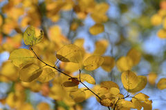 Beautiful yellow autumn leaves backlit Royalty Free Stock Photography