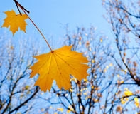 Beautiful yellow autumn leaves in the park Stock Photography