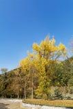 Beautiful yellow  autumn tree in the mountain Royalty Free Stock Photos