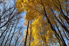 Beautiful yellow autumn trees and blue sky Stock Photos