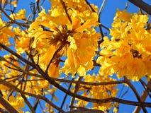 Beautiful yellow bell flower Stock Photos