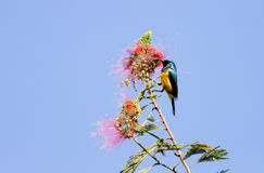 A beautiful Yellow-bellied Sunbird Stock Photo