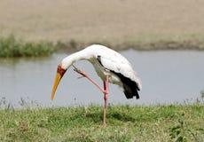 A beautiful yellow billed stork Stock Image