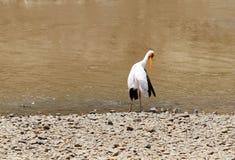 Beautiful yellow billed stork in Mara river Stock Photo