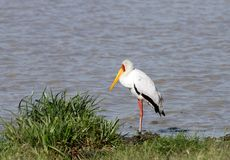 A beautiful yellow billed stork near a pond Stock Photography