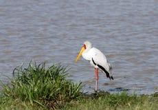 A beautiful yellow billed stork near a pond Stock Photography
