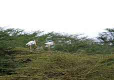Beautiful yellow billed storks on Acacia tree Royalty Free Stock Photography
