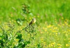 Beautiful yellow bird in field , Lithuania Stock Image