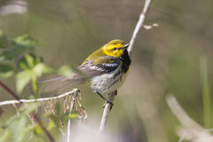 Beautiful yellow bird in a forest scene during spring Royalty Free Stock Image