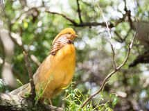 Beautiful Yellow bird looking side way. Yellow bird waiting for female with brown and white feathers Royalty Free Stock Images