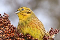 Beautiful yellow bird on a winter day Royalty Free Stock Images