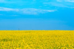 Beautiful yellow blooming canola field Royalty Free Stock Images