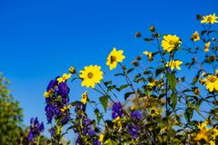 Beautiful yellow and blue / purple flowers in a flowerbed. stock images