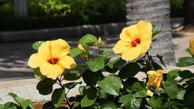 Beautiful Yellow bright flower of a hibiscus waving in the wind. Beautiful Yellow bright flower of a hibiscus waving in the wind stock footage