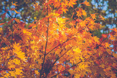 Beautiful yellow and brown autumn leaf Royalty Free Stock Image