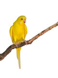 Beautiful yellow Budgerigar bird Stock Photos