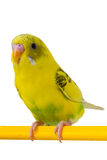 Beautiful yellow budgie sitting Royalty Free Stock Photos