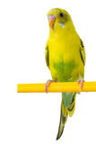 Beautiful yellow budgie. Sitting on a yellow horizontal bar isolated on white background Royalty Free Stock Photography