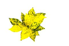 A yellow bunch of Garden croton Codiaeum variegatum leaves isolated on white background. A beautiful yellow bunch of Garden croton Codiaeum variegatum leaves Stock Photos