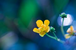 Beautiful yellow buttercup flower macro Stock Photo