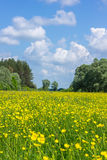 Beautiful yellow buttercups field Royalty Free Stock Photography