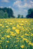 Beautiful yellow buttercups field Stock Photo