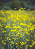Beautiful yellow buttercups field Royalty Free Stock Images